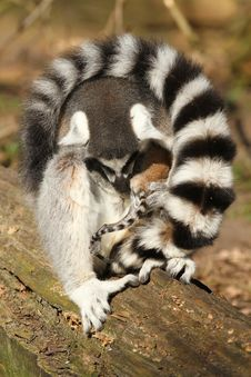 Free Ring-tailed Lemur Caring For Her Baby Royalty Free Stock Photography - 18761777