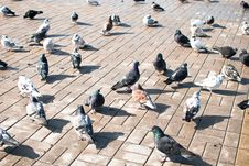 Free Pigeons Stock Photography - 18762042