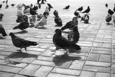 Free Pigeons Stock Photos - 18762083