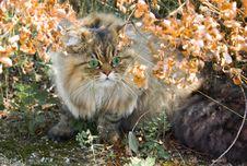 Free Green-eyed Persian Cat Royalty Free Stock Image - 18762146