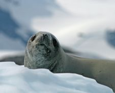 Crabeater Seal 13 Stock Photography