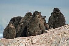 Adelie Penguin Chicks Stock Images