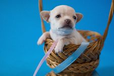 Free Tiny Puppy Royalty Free Stock Images - 18763379