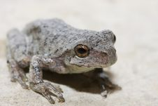 Free Cope S Gray Tree Frog Stock Image - 18764041