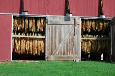 Free Amish Tobacco Royalty Free Stock Photography - 18764147
