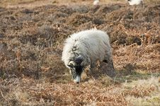 Sheep Grazing On Moorland Royalty Free Stock Photos