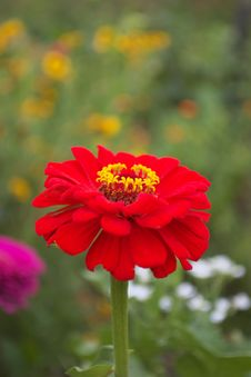 Free Red Dahlia Stock Images - 18764614