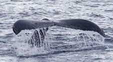 Free Humpback Whale Tail 2 Stock Photo - 18765190