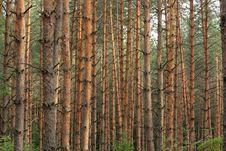 Free Pine Royalty Free Stock Photo - 18765235
