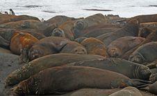 Free Elephant Seals 2 Stock Images - 18765284