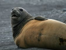 Free Elephant Seal 9 Royalty Free Stock Images - 18765359
