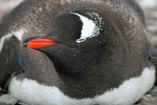 Free Gentoo Penguin 8 Stock Photo - 18765500
