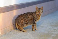 American Bobtail Cat Race Royalty Free Stock Photo
