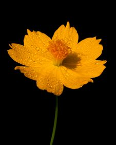 Free Cosmos Flower Stock Photos - 18766243