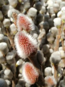 Free Willow Catkins Royalty Free Stock Photos - 18767688