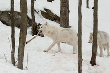 Free Wolves With Prey Royalty Free Stock Photography - 18767777