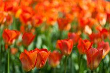 Free Field Of Orange Tulips Royalty Free Stock Photos - 18768158