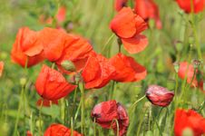 Free Poppies Royalty Free Stock Image - 18768426