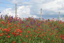 Free Poppies Royalty Free Stock Photo - 18768475