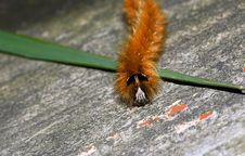 Free Caterpillar Stock Photos - 18768483