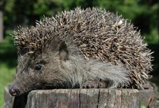 Free Hedgehog Stock Image - 18768571
