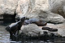 Free Seal Family Royalty Free Stock Photos - 18768768