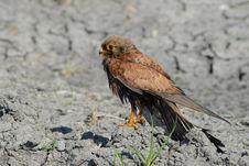 Free Eagle Buzzard Stock Image - 18768941