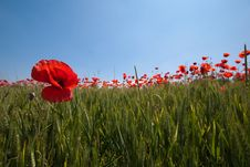 Free Wheat And Poppies Royalty Free Stock Images - 18769539
