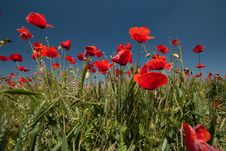 Free Wheat And Poppies Stock Image - 18769651