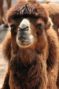 Free Portrait Of A Camel Stock Photography - 18773362