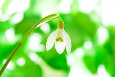 Free Snowdrop Royalty Free Stock Image - 18770386