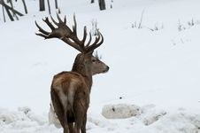 Free Deer In The Snow Stock Photography - 18771142