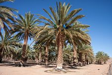 Free Date Palm Farm Royalty Free Stock Images - 18773219