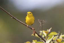 Free Yellow Warbler Stock Photos - 18774173