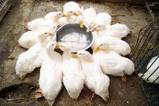Free Duck Stock Photo - 18774350