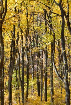 Free Yellow Foliage In Fall Stock Photos - 18774353