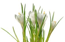 Free Crocus White Royalty Free Stock Image - 18775186