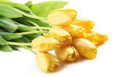 Free Yellow Tulips Stock Photos - 18775253