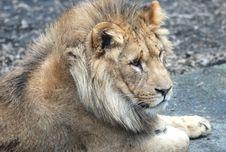 Free A Lion Royalty Free Stock Photo - 18777975