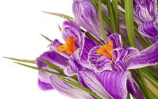 Free Lilac Spring Crocus Royalty Free Stock Photography - 18778117