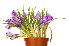 Flowerpot With Lilac Spring Crocus Royalty Free Stock Images