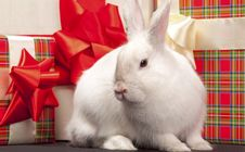 Free Fluffy Rabbit In Giftbox Royalty Free Stock Photo - 18778135