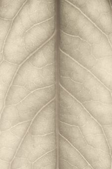 Free Leaf Closeup Royalty Free Stock Photography - 18779147