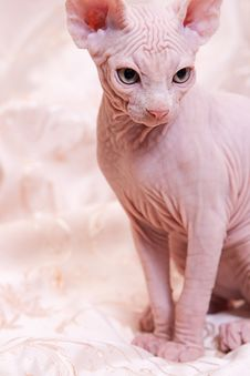 Cat Of Breed Don The Sphynx Royalty Free Stock Photos