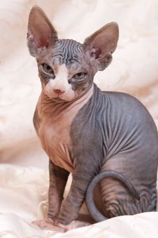 Cat Of Breed Don The Sphynx Royalty Free Stock Photography