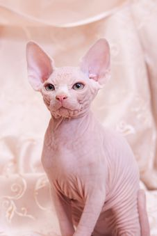 Cat Of Breed Don The Sphynx Royalty Free Stock Image