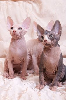 Cats Of Breed Don The Sphynx Royalty Free Stock Images