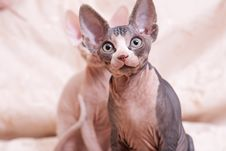 Free Cats Of Breed Don The Sphynx Stock Image - 18779561