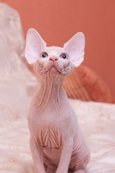 Cat Of Breed Don The Sphynx Stock Photo