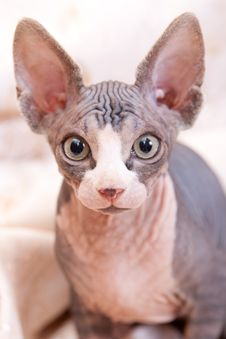 Cat Of Breed Don The Sphynx Stock Photography